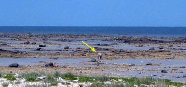 Dirty polar bear (arrowed) in a boulder field