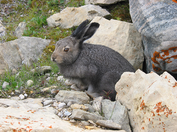An arctic hare in summer pelage