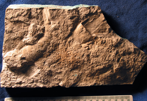 This eurypterid slab, found by Mr. Fournier, is the piece that made us interested in field research in the Grand Rapids Uplands.