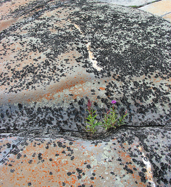 The tenacious arctic willow herb grows in crevices on the quartzite surface