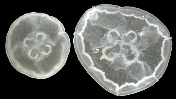 Modern moon jellies (Aurelia) from the southern end of Vancouver Island