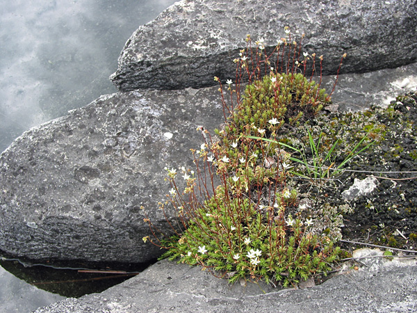 Saxifrages on the shore of Cormorant Lake in June, 2006. This year the weather has been much colder, and the flowers are not yet in bloom.