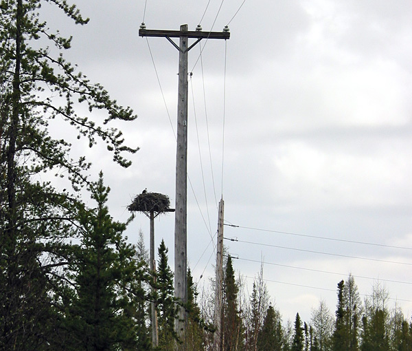 The power line had been re-routed around the osprey nest.