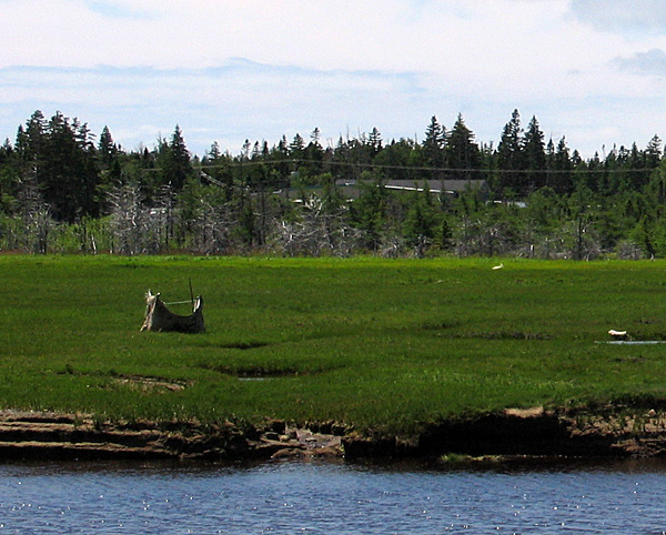 Dead trees at the back of the saltmarsh may have been killed by an ongoing sea level rise.