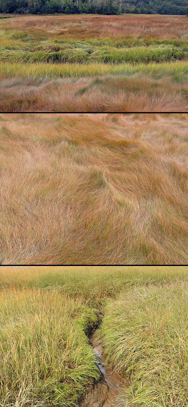 Grasses and channels in the salt marsh at Dipper Harbour, New Brunswick