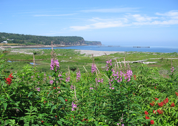Fireweed behind the barachois at Whale Cove, Grand Manan Island, New Brunswick.
