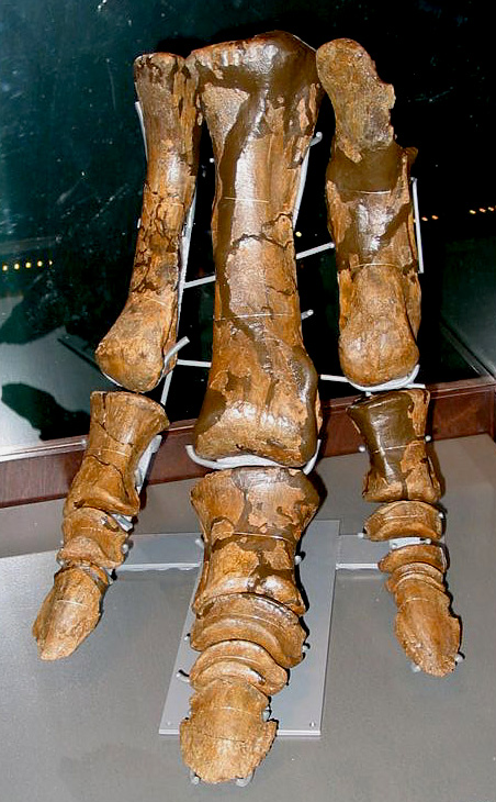 Hind foot (pes) of a hadrosaur, on exhibit in the Manitoba Museum (photo © The Manitoba Museum, 2009)