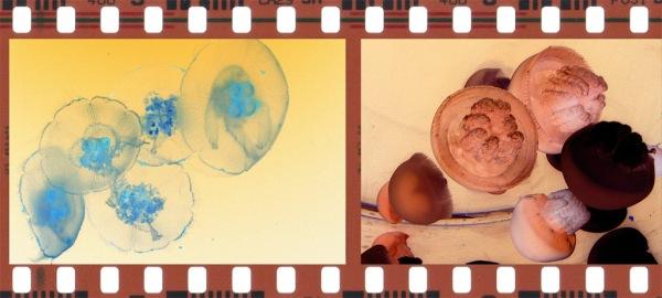 jellyfish Aurelia