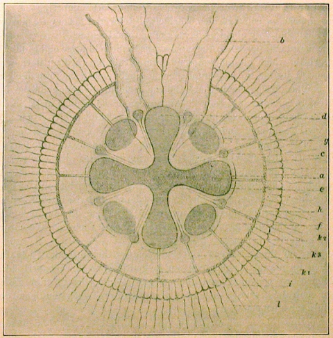 Haeckel's diagram of the Solnhofen fossil Semaeostomites (re-published in Walcott, 1898)