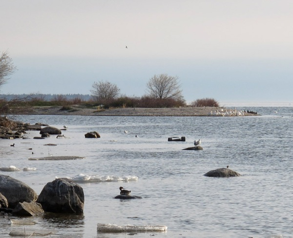 Even with the ice, there were birds everywhere. In this photo there are ducks and a shorebird in the foreground, gulls in the middle distance, and dense flocks of pelicans on the shore behind.