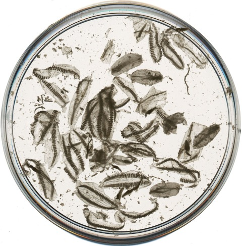 Fragmented specimens of the modern ctenophore Pleurobrachia sp., in a petri dish