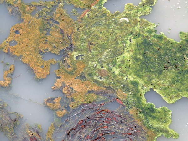 Algae and bacteria in the salt marsh