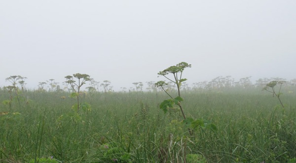 At the top of the beach ridge, hogweeds loom through the mist like ghosts
