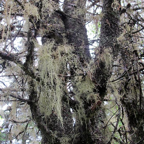 """Old man's beard"" lichen festoons the trees"