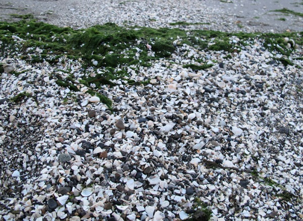 Many more cockles can be found ground to pieces, and mixed with other shells up near the strandline.