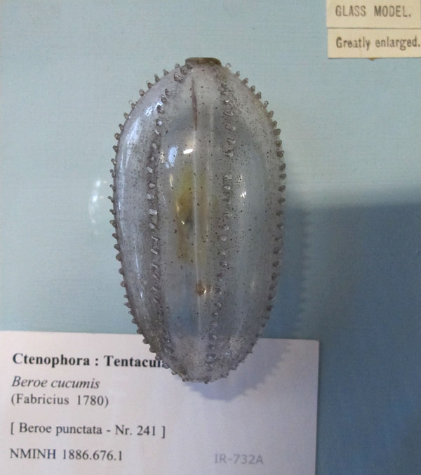 Beautiful Blaschka model of a ctenophore (comb jelly)