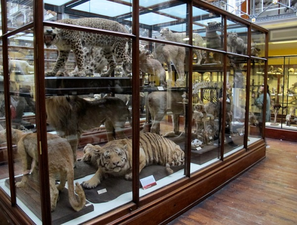 Some of the big cats look uncomfortable in their .glass case