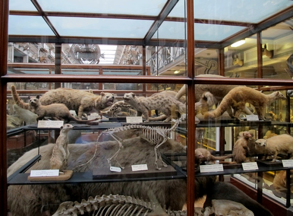 Every case is packed full of creatures.  These are small carnivores in the upper gallery.