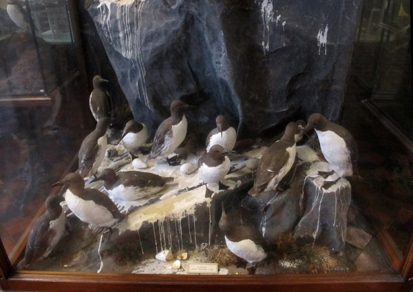 A colony of guillemots, depicted in full detail.
