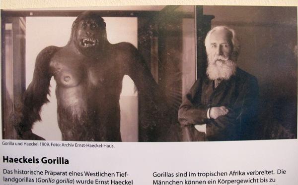 B gorilla & Haeckel