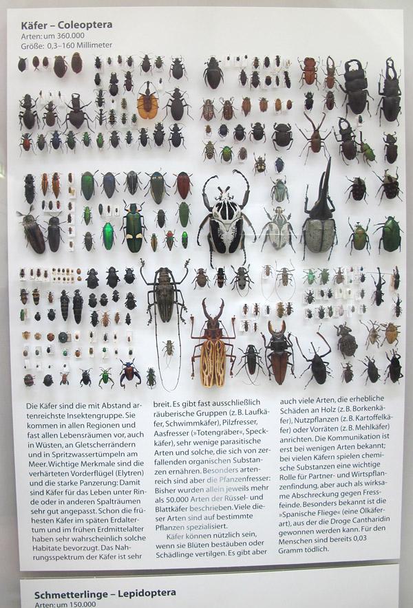 E Coleoptera