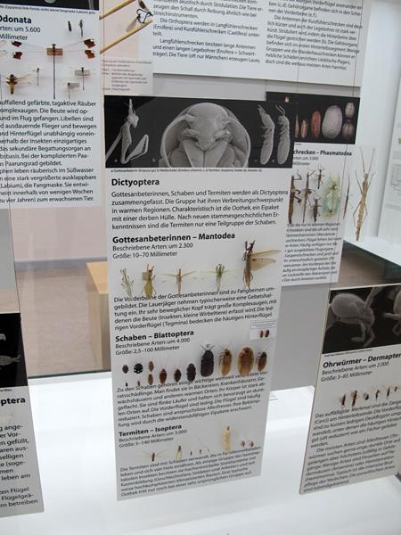 E Dictyoptera