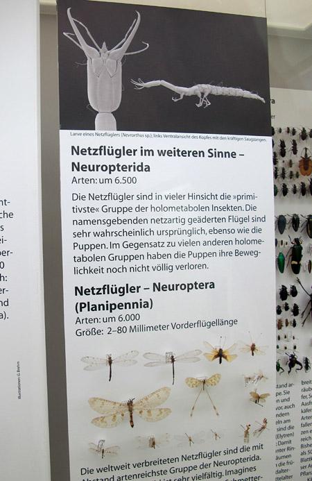 E Neuropterida