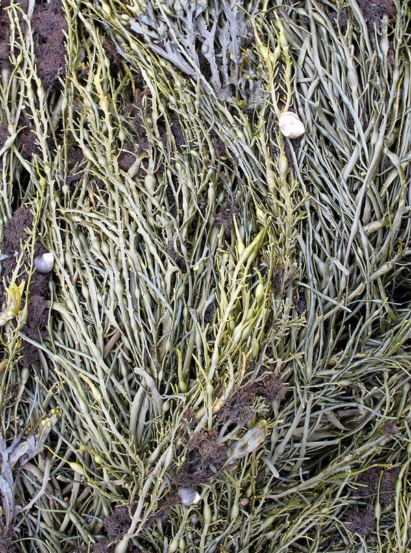 seaweed bed