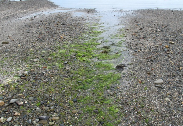 Algae in a tidal flat channel, St. Andrews, New Brunswick