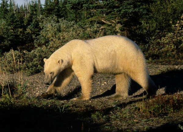 Polar bear at Akimiski Island, James Bay (photo Dave Rudkin, Royal Ontario Museum)