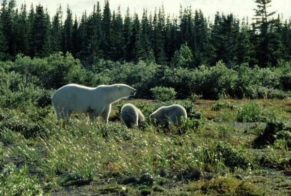 Mother bear and cubs at Akimiski. (photo Dave Rudkin, Royal Ontario Museum)