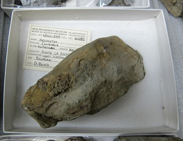 Heliolites