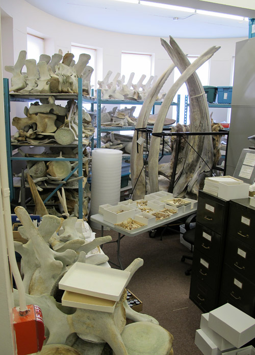 Whale skeletons in deep storage