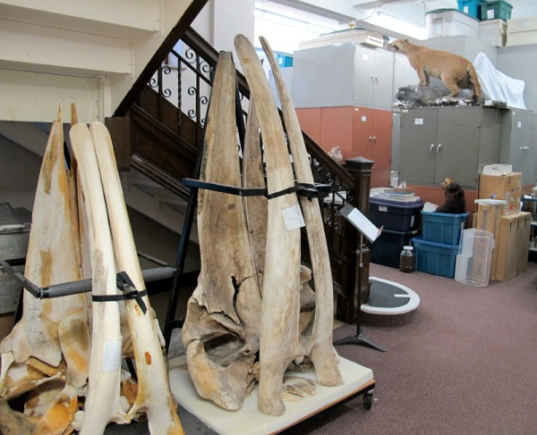 whalebones2