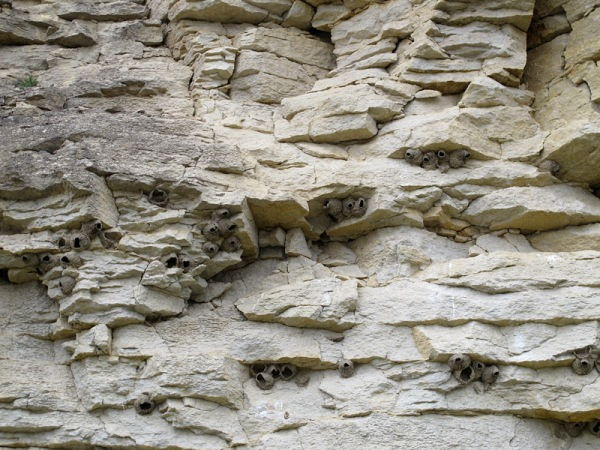 Ordovician (Katian) limestone of the Portage Chute Formation, Bad Cache Rapids Group. Those are apparently cliff swallow nests (the residents had departed, though, so we couldn't be sure)