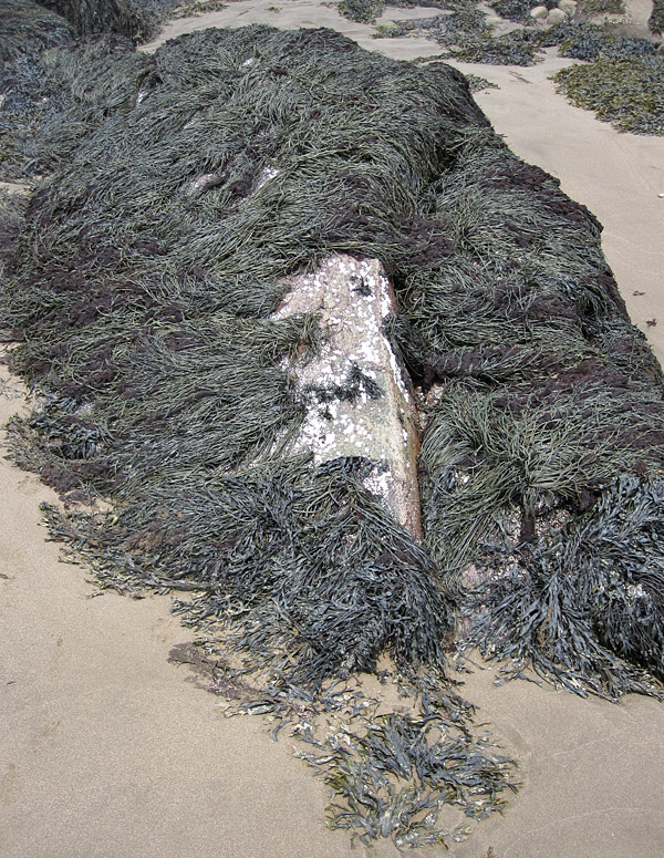 On this spur of rock, the crest of a toupee of seaweed is peeled aside to reveal a bald pate.