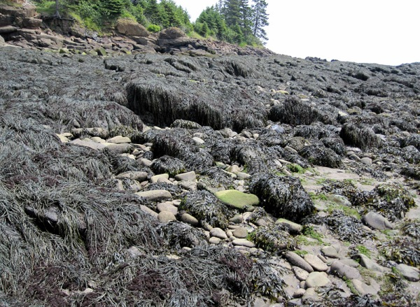 . . . to a seaweed-encrusted rocky shoreline.