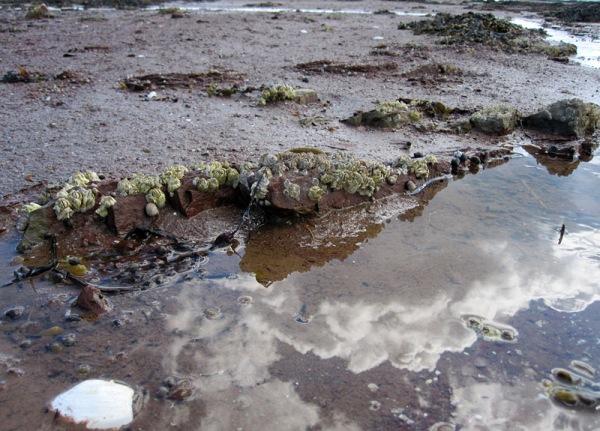 Barnacles on sandstone bedrock