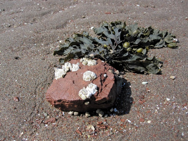 Barnacles and seaweed on a sandstone cobble