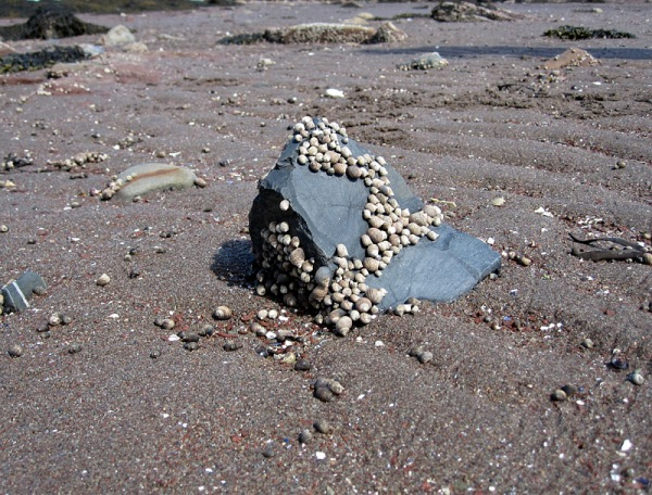 Periwinkles on a basaltic boulder